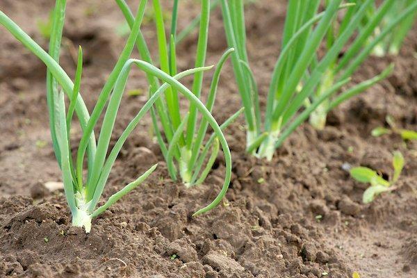 Grow Like Green Onions!